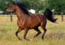 Pogmatwane dzieje koni z Janowa Podlaskiego. Rosjanie zniszczyli, Niemcy odbudowali