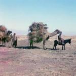 Wielbłądy na stepach Kazachstanu, fot. Siergiej Prokudin-Gorski, ok. 1910-1915 r.