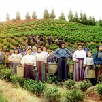 Plantacja herbaty, 1910-1915